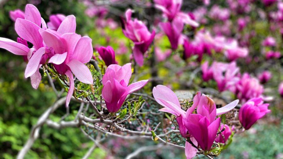 fleurs de magnolia au jardin botanique