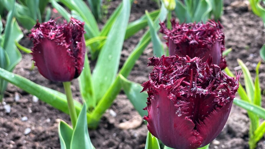 tulipes frangées jardin botanique