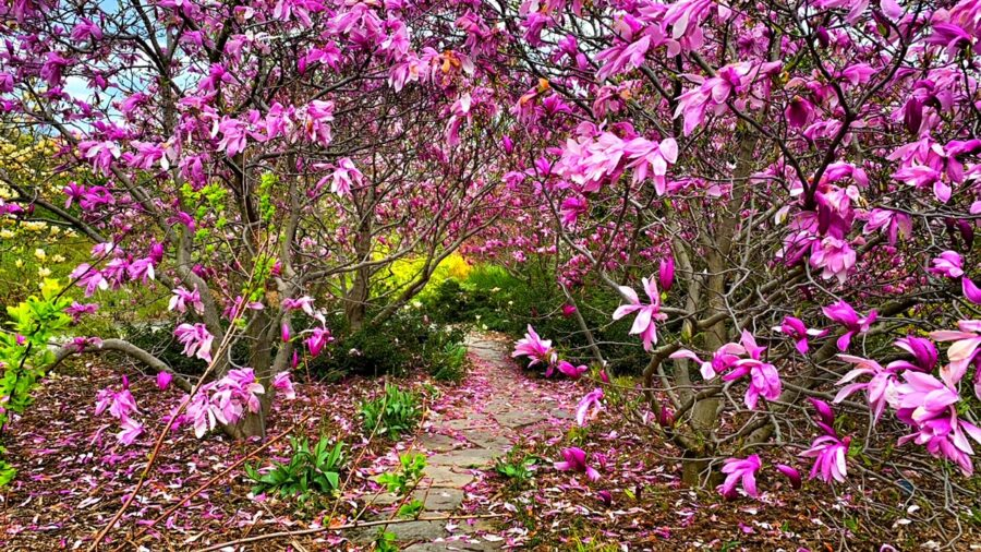 magnolia à Montréal